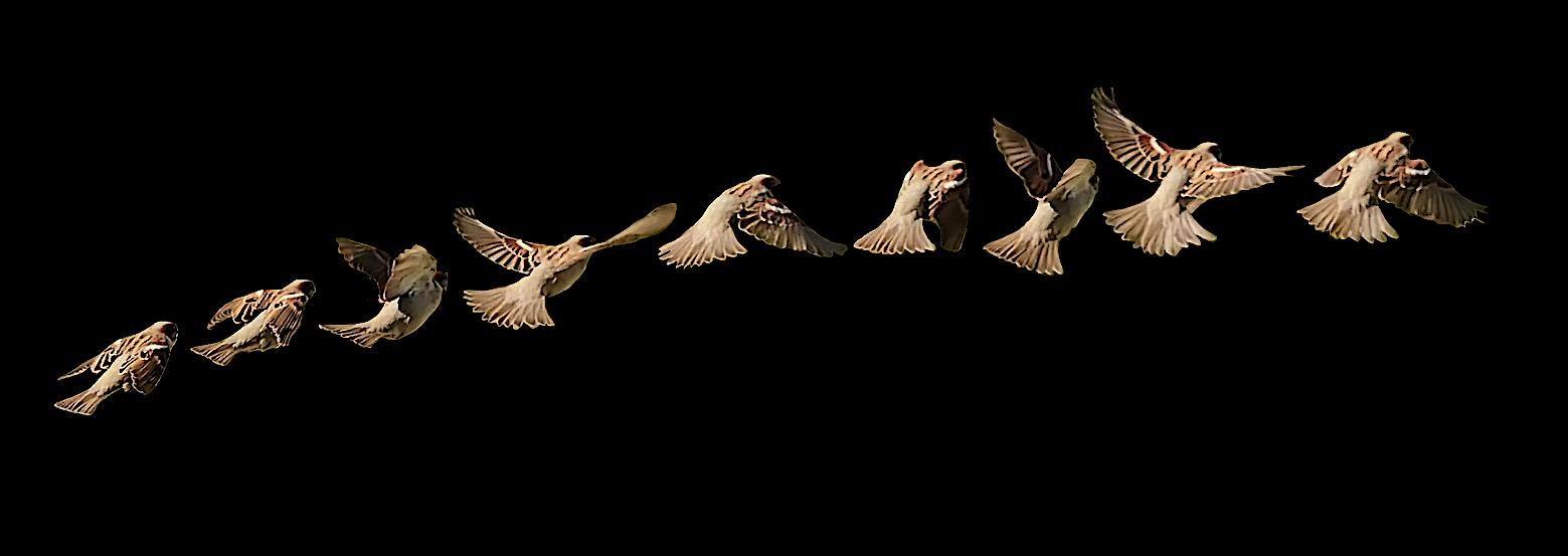 05 Moineau vole en noir .jpg