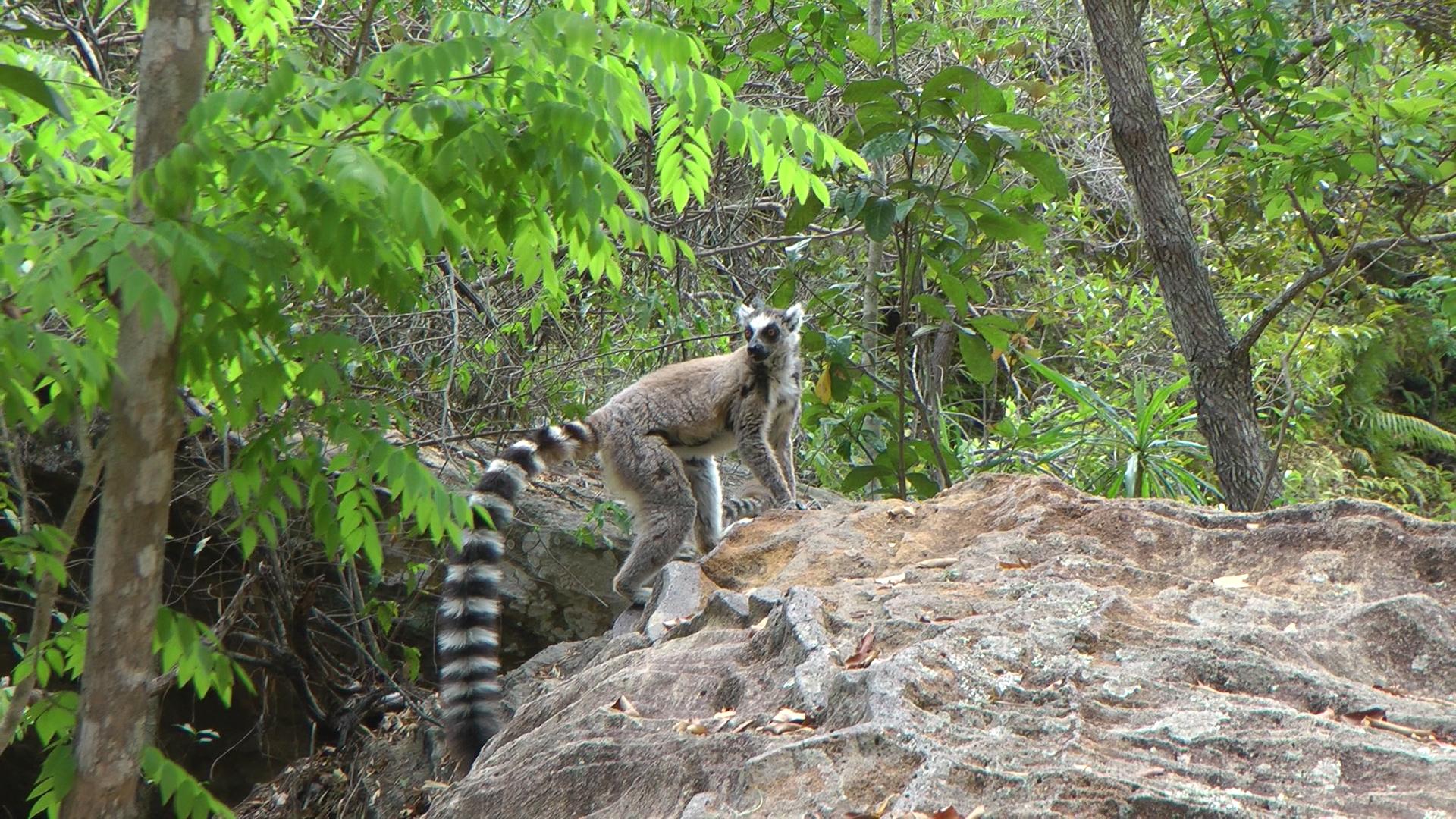 Lemur Maki Catta.jpg