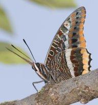 Papillon13